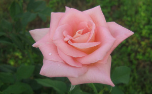 Pink Roses Widescreen Wallpapers