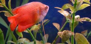 Red Flame Dwarf Gourami (PIC)