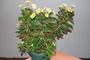 Euphorbia-millii-Crown-of-Thorns-3-600x398.jpg?6dd026