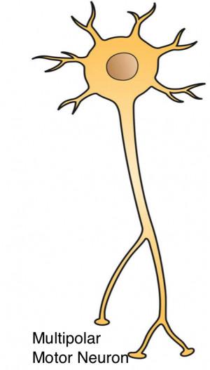 multipolar neuron model