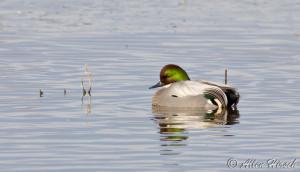 Thread: Rarity: falcated duck