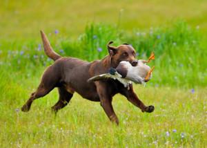 Cur Dog The Retriever...