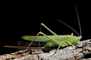 Female-Round-tipped-Conehead-Katydid-with-long-ovipositor.