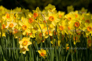 field of yellow daffodils - Stock Image