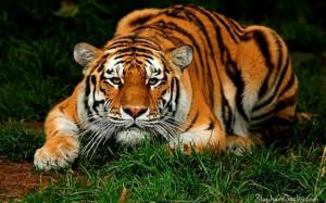 white tiger beautiful wallpaper
