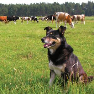 Best Small Goat Herding Dogs