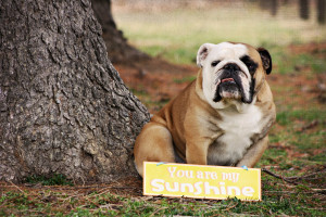 Funny English Bulldog Quotes English bulldog card