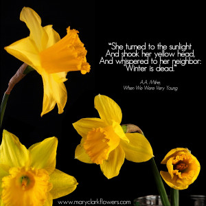 Yellow daffodils on black background with quote from A.A Milne's, When ...