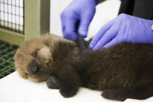 Sea Otter Pup Gets Her Fur Done