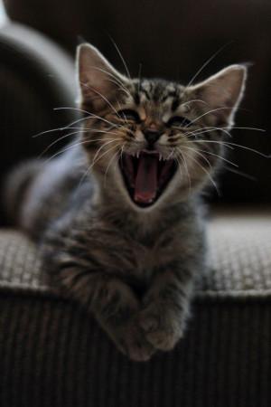 cute tabby kitten #rawr