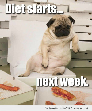 fat pug dog chair eating pizza diet starts next week animal funny pics ...