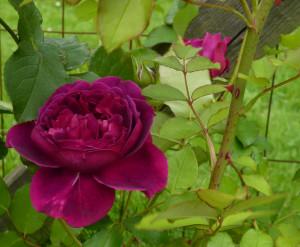 Rose Shakespeare...