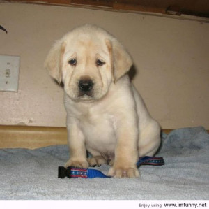 Sad Labrador… without girlfriend | Funny Pictures, Funny Quotes ...