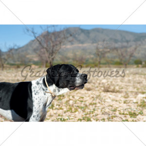 Black And White Pointer Hunting Dog In Full Ale...