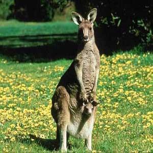 is for kicking kangaroo