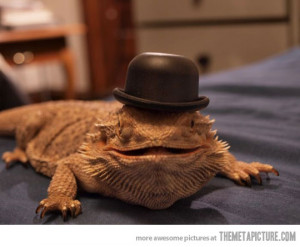 Funny photos funny bearded dragon hat reptile