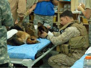 sad Marine wounded dog hospital