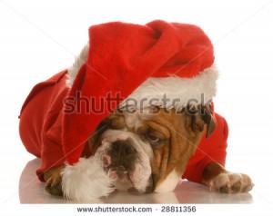English Bulldog With Sad