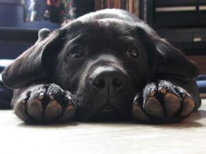 black-labrador-retriever-puppy-dog-face-paws-upclose-cute-1024x768