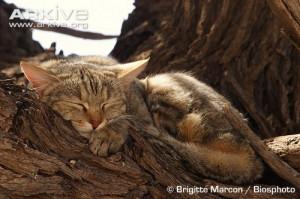 marcon kc silvestri group felis silvestri wildcats sleep european ...