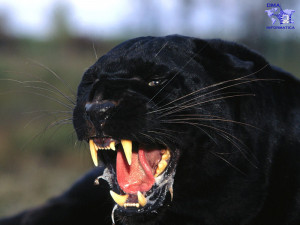 fotografie pantera nera
