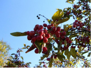 Required Red Berry Bush