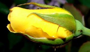 Yellow Rose Bud Friendship