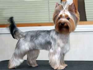 Dog Yorkie Puppy Cut Haircut