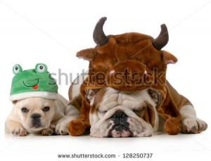 stock-photo-english-bulldog-and-french-bulldog-dressed-up-like-bull ...