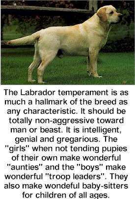 Labrador Retriever Dog Picture