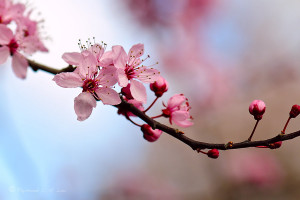 Cherry Blossom 3 by Raylau