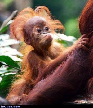 Funny Little Orangutan Baby