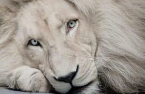 beau lion blanc Wallpaper