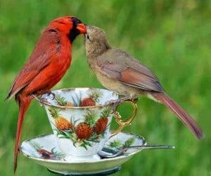 Kissing cardinal pair via Carol's Country Sunshine on Facebook