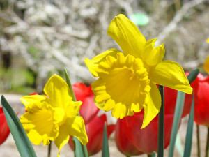download now Its about Daffodil Flowers Art Picture