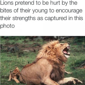FavoriteAnimal #Lion #Power #Strength #Leadership #Loyalty