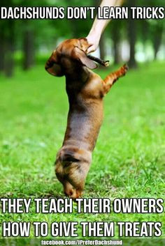 ... more learning tricks dachshund back dogs trainer dogs doxi dachshund