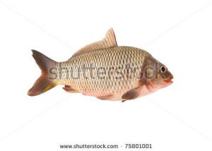 Funny carp fish isolated on white background