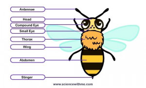 ... Bees Theme, Bees Charts, Anatomy Of A Bees, Linda Projects, Honey Bees