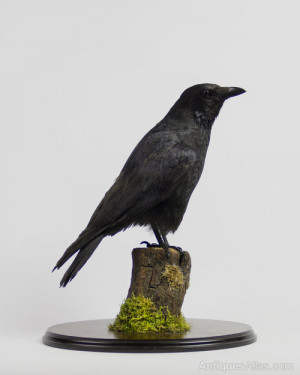 Description Modern taxidermy specimen of a Carrion crow.