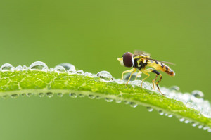 Morning Hoverfly Photograph
