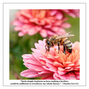 Famous Quotes - Charles Darwin - Bees Photograph - Famous Quotes ...