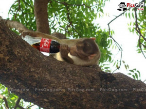 ... picture funy funny coke wallpapers funny pic of monkeys drink quotes