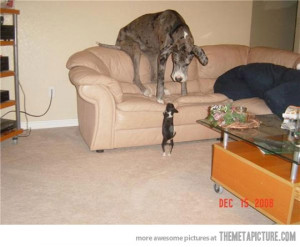 funny chihuahua & Great Dane