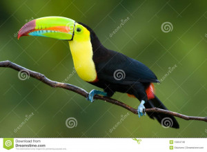 Keel Billed Toucan Click View