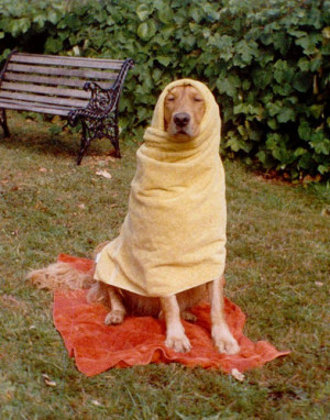 Original Scan of Sparky the Golden Retriever Wrapped in Bath Towels ...