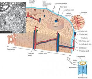 Microscopic Human Bone Structure