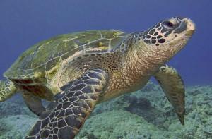 Green Sea Turtles, Maui, Hawaii