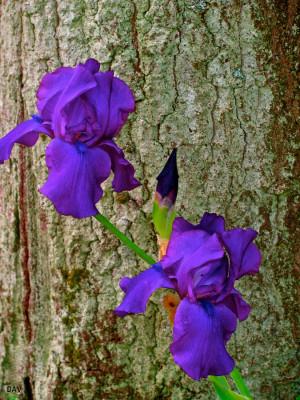 Deep Purple Iris Photograph