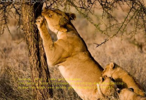 Lion and Lioness Love Quotes
